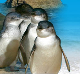 Phillip Island Penguin Parade - Accommodation BNB