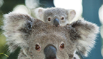 Billabong Koala and Wildlife Park - Accommodation BNB