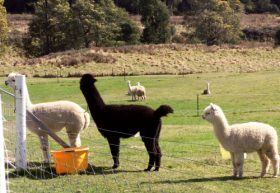 Maydena Country Cabins Accommodation  Alpaca Stud - Accommodation BNB