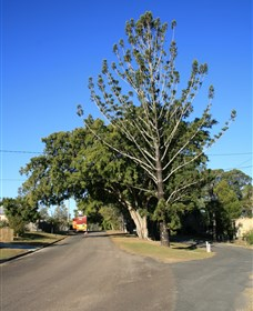 Anzac Avenue Memorial Trees Beerburrum - Accommodation BNB