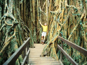 Curtain Fig Tree - Accommodation BNB