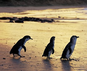 Phillip Island Nature Park - Accommodation BNB