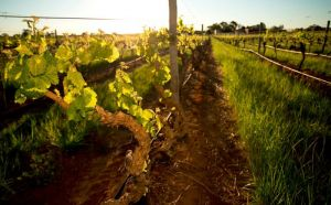 Kaesler Old Vine Vineyard Tour - Accommodation BNB