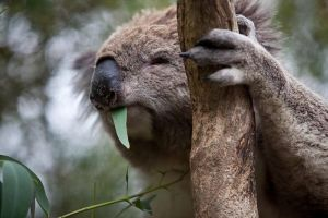 Phillip Island Koala Conservation Centre Entry ticket - Accommodation BNB