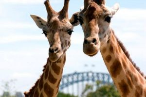Sydney Harbour Ferry with Taronga Zoo Entry Ticket - Accommodation BNB