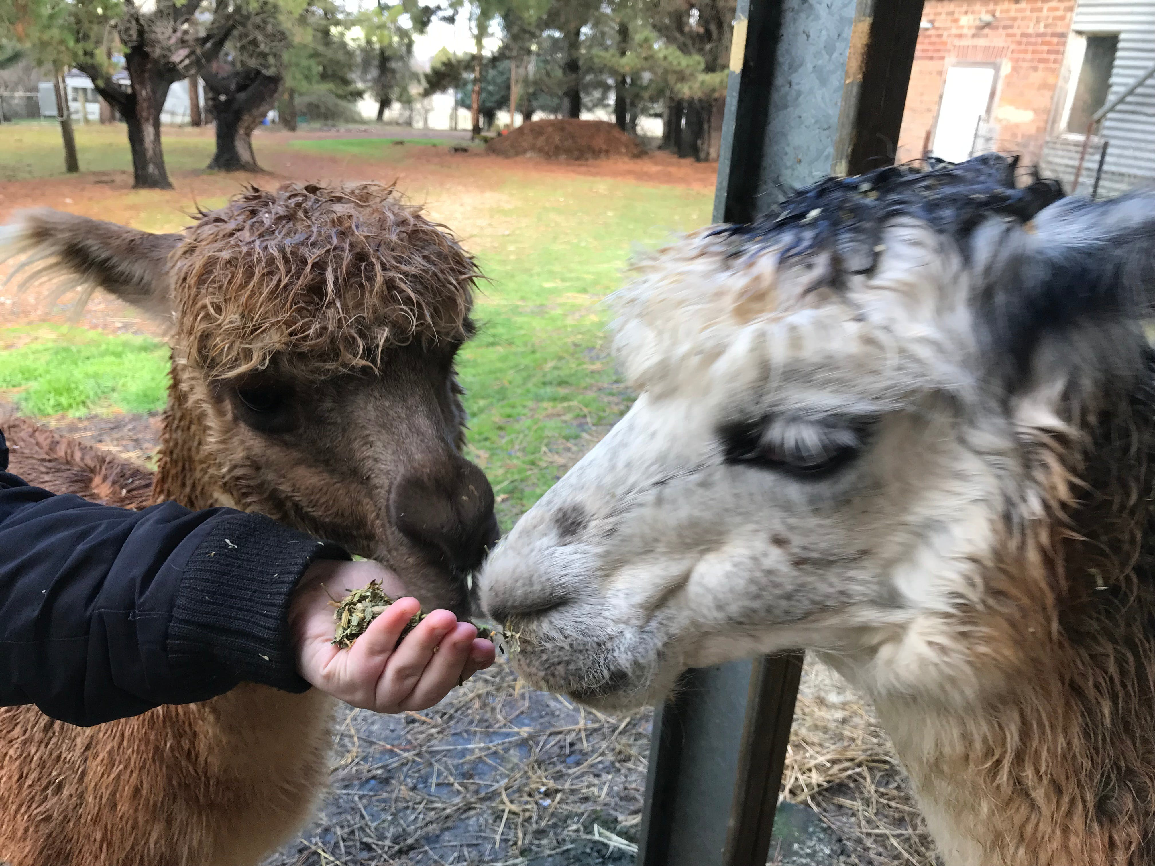 Alpaca Farm Experience at Crookwell - Accommodation BNB