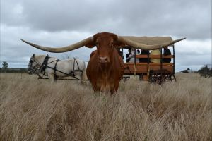 Texas Longhorn Tours - Accommodation BNB