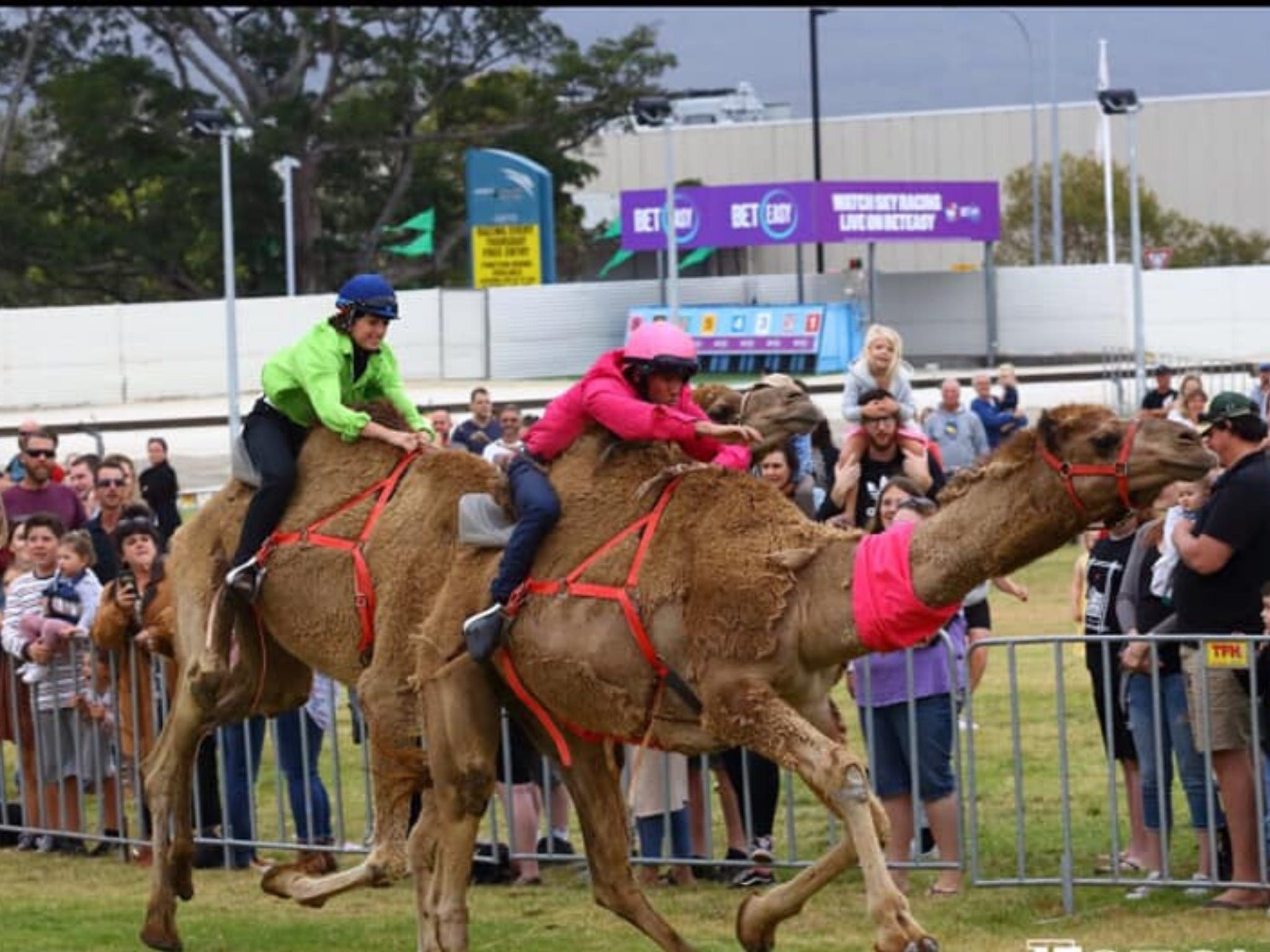 Camel Races at Gosford Showgrounds - Accommodation BNB