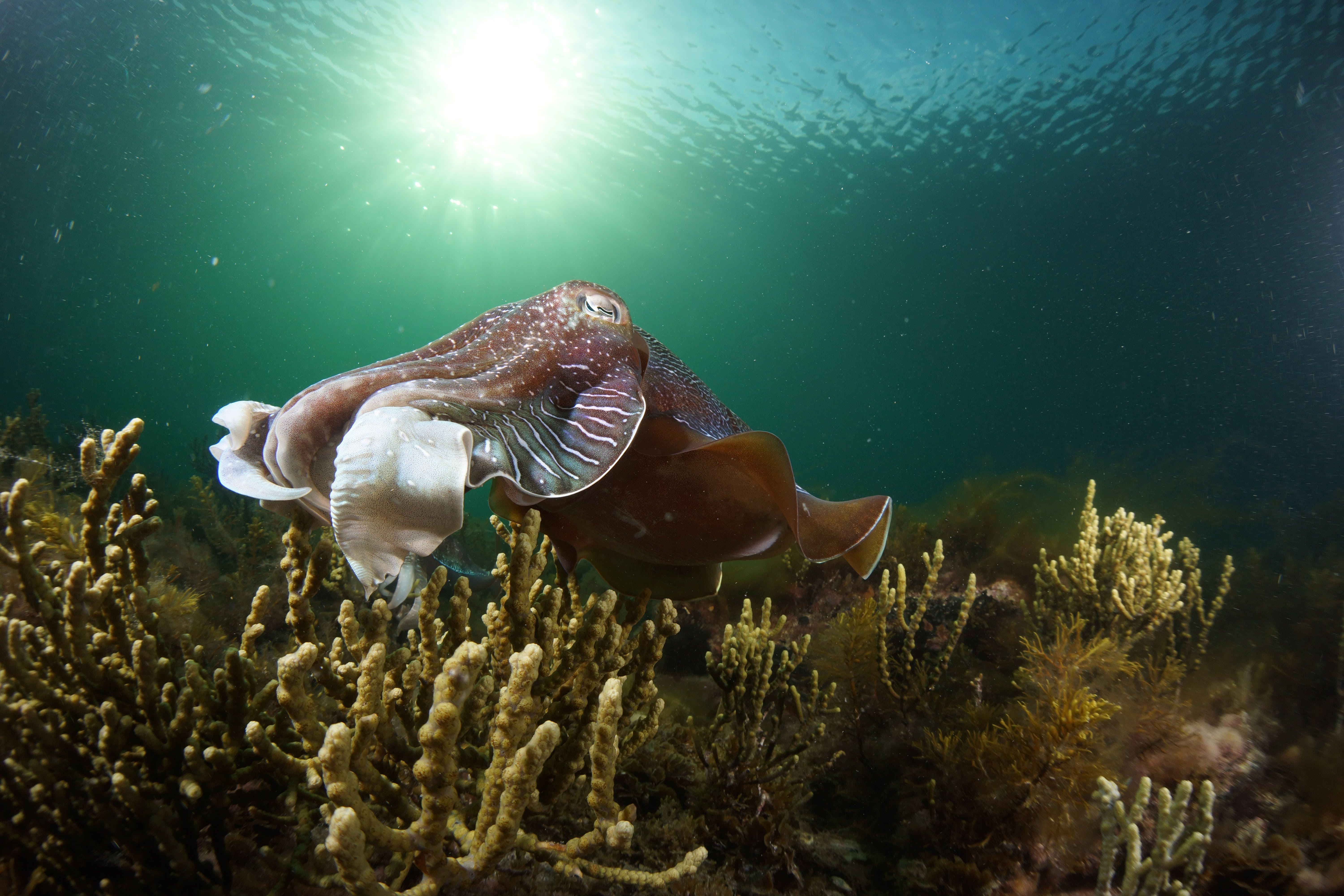 Cuttlefish Diving  Snorkeling EVERYDAY May -August - Accommodation BNB